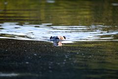 Beaver. The beaver floats in the water royalty free stock photography