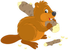 Beaver. Funny beaver carrying a small log Stock Photography