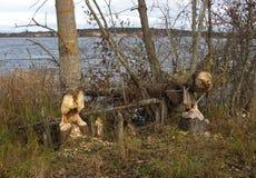 Beaver gnaw. At a swedish lake stock images