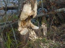 Beaver gnaw. At a swedish lake royalty free stock image