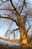 Beaver gnawed willow tree Stock Image