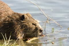 Beaver gnawing on wood. North American Beaver (Castor canadensis) in the water, gnawing on some wood in the wild Stock Image