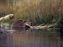 Beaver gnawing on wood Royalty Free Stock Photography
