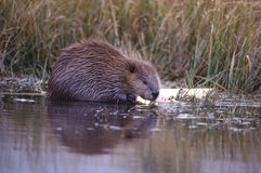 Beaver in  Grand Teton National Park Stock Photography
