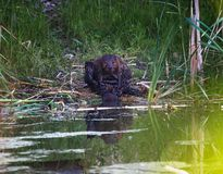 A beaver grooming itself beside a pond stock images