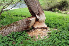 Beaver has gnawed a tree trunk Stock Images