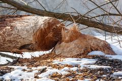 Beaver work Royalty Free Stock Image