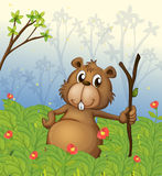 A beaver holding a wood in the jungle Stock Images