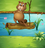 A beaver holding a wood in the river Royalty Free Stock Photos