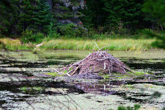 Beaver house. In Algonquin National Park in Canada Stock Image
