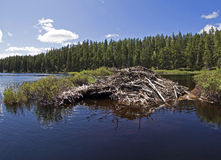 Beaver House. Beautiful beaver house on a calm lake Stock Photography