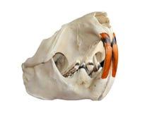 Beaver il cranio su una priorità bassa bianca Fotografia Stock Libera da Diritti