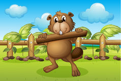 A beaver inside a fence holding a wood Stock Photo