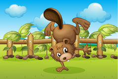 A beaver inside the wooden fence Stock Photo
