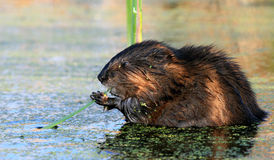 beaver jedzenie Obrazy Stock