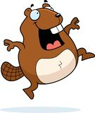 Beaver Jumping Royalty Free Stock Images