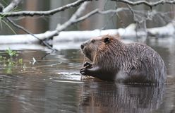 Beaver. Keep the lunch break royalty free stock image