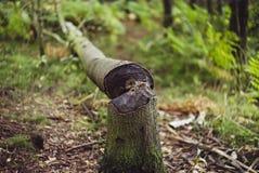 Beaver l'albero del `s Immagini Stock Libere da Diritti