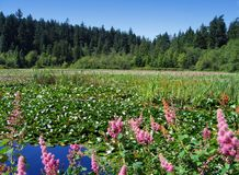 Beaver Lake, Stanley Park, Vancouver. Beaver Lake with water lilies and butterfly bush in Stanley Park, Vancouver, British Columbia, Canada Royalty Free Stock Image
