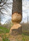 Beaver les repères de knaw sur un arbre Images libres de droits
