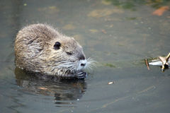 Beaver. Little Beaver in the water stock images