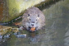 Beaver. Little Beaver in the water stock image