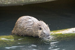 Beaver. Little Beaver in the water stock photo