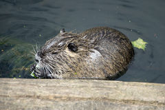 Beaver. Little Beaver in the water royalty free stock images