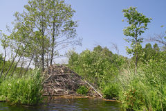 Beaver lodge Stock Photos