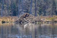 Beaver lodge in the Adirondack Park Royalty Free Stock Photo