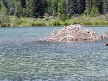 Beaver Lodge in a Beaver Pond Stock Image