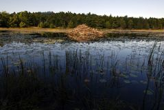Beaver Lodge in calm lily pond Royalty Free Stock Photos