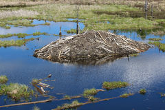 A beaver lodge in Elk Island National Park, Alberta Canada Stock Photography