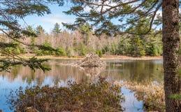 Beaver lodge on a lake Stock Photos