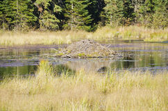 Beaver Lodge in a Pond Stock Photo