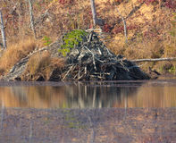Beaver Lodge. In progress in pond during autumn in Tennessee Royalty Free Stock Photography