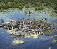Beaver Lodge. A beaver`s neat and tidy home on a quiet pond Stock Image