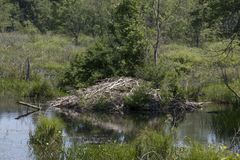 A beaver lodge Stock Images