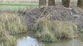 Beaver lodge at water on a water channel in Havelland Brandenburg, Germany.  stock footage