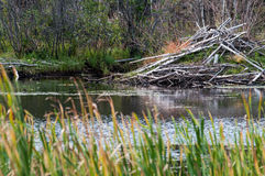 Free Beaver Lodge With Reeds Royalty Free Stock Photography - 63935407