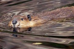 Beaver looking at camera Stock Photo