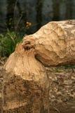 beaver luzem Zdjęcie Stock