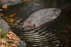 Beaver. The male beaver is swimming Royalty Free Stock Photo