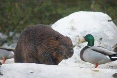 Beaver and Mallard Stock Photography