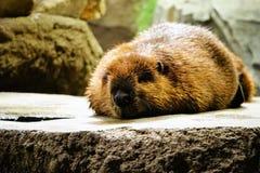Beaver, Mammal, Fauna, Snout royalty free stock photo