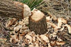 beaver masakra Zdjęcia Stock
