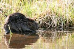 Beaver mascar em raizes suculentas na água rasa do lago Animal nacional canadense do castor Fotografia de Stock