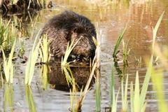 Beaver mascar em raizes suculentas na água rasa do lago Animal nacional canadense do castor Foto de Stock Royalty Free