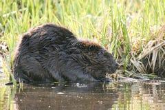 Beaver mascar em raizes suculentas na água rasa do lago Animal nacional canadense do castor Imagens de Stock Royalty Free