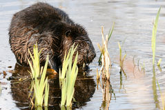 Beaver mascar em raizes suculentas na água rasa do lago Animal nacional canadense do castor Imagem de Stock Royalty Free